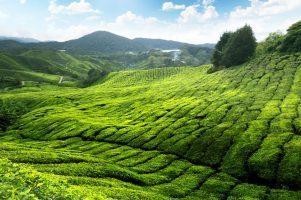 Sur la route du thé