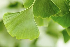 Le Ginkgo