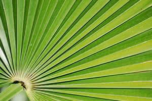 Le Palmier de Floride